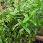 Tagetes, czy Artemisia dracunculus – Estragon? Czy w marketach kupujemy prawdziwy Estragon?