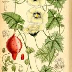 Momordica balsamina Linne (Balsamapfel) – przepękla pospolita w praktycznej fitoterapii.