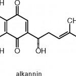 Czerwienica barwierska – Alkanna tinctoria (Linne) Tausch jako składnik dawnych leków i kosmetyków.