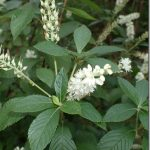 Orszelina olcholistna = olchówka olcholistna – Clethra alnifolia Linne w praktycznej fitoterapii.